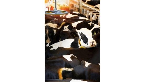D�terminer la position de l'animal en stabulation avec Nedap Cow positioning