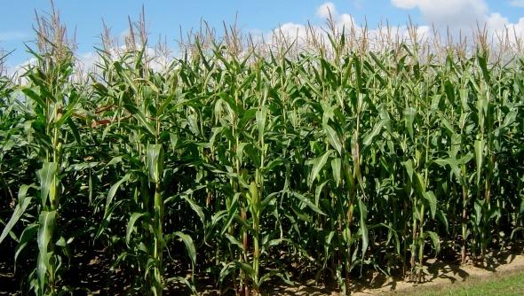 maïs fourrage sur pied