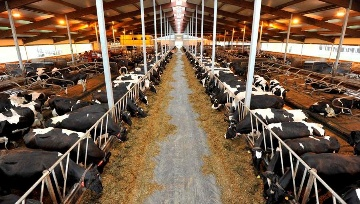 Ces fermes ovnis de 1.000 vaches et plus, enti�rement robotis�es