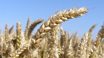 Le bl� p�nalis� par la concurrence, le ma�s et le soja par le beau temps