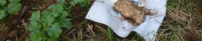 Piège à limaces en colza