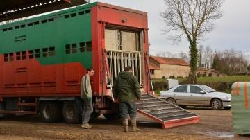 Des milliers de bovins bloqu�s en France � cause de la fi�vre catarrhale
