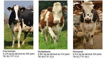 Le détail comparé des races laitières