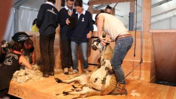 Un défi inédit: battre un record de tonte de moutons
