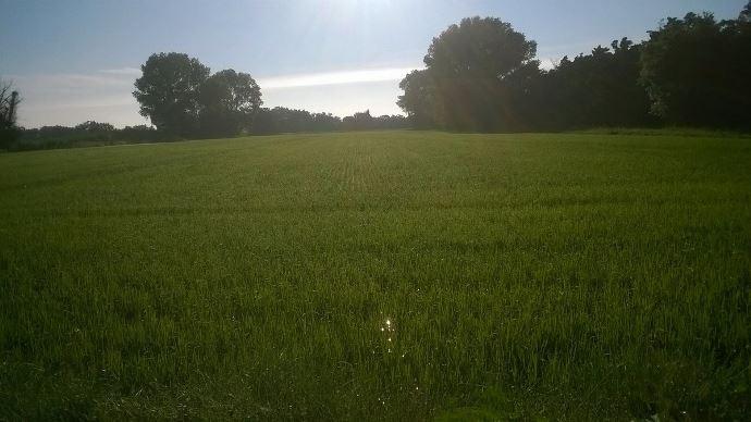 Riziculture: le semis à sec enterré de précision