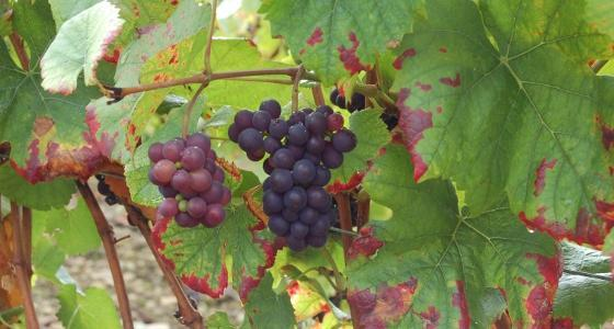 La superficie du vignoble mondial devrait encore diminuer de 94.000 hectares en 2011.