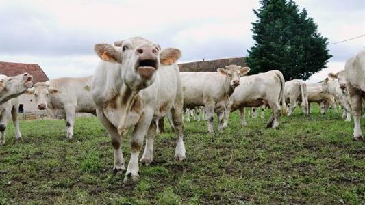 embargo russe sur la viande bovine