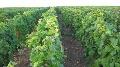 Flavescence dor�e - La Bourgogne viticole tente d'enrayer la progression du virus