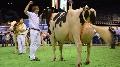 Holstein / Red-holstein - Carrefour des concours 2014 (mis � jour)