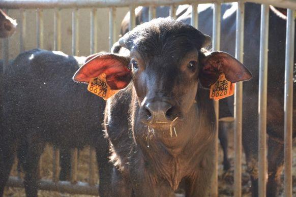 veau bufflon