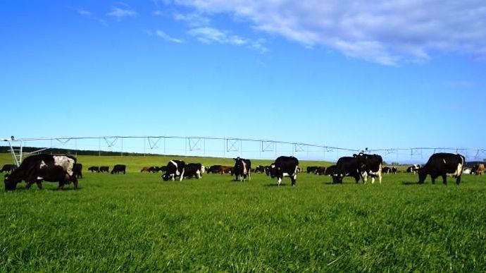 Vaches laitières nouvelle zelande