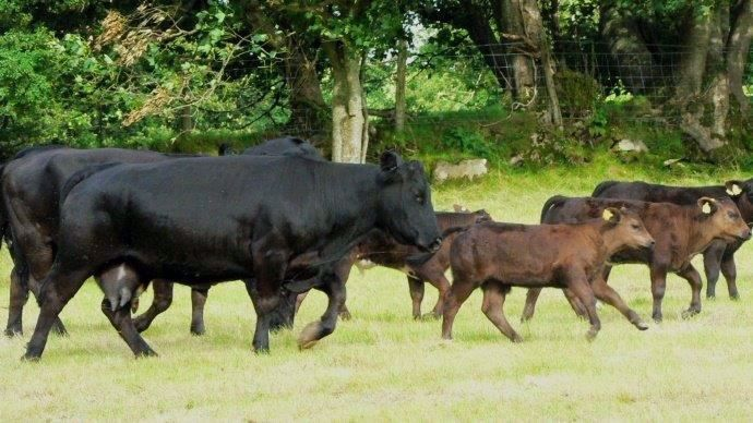 Vaches angus