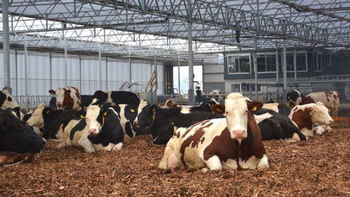 Batiment d'élevage vaches laitieres sur compost de bois déchiqueté