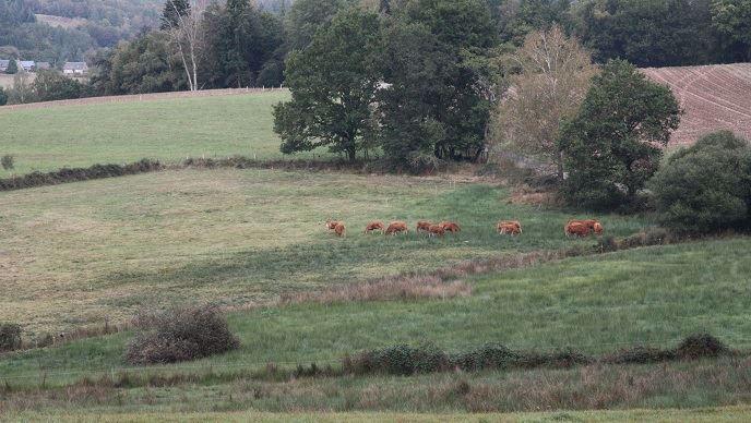 Les vaches de Julien Mermon