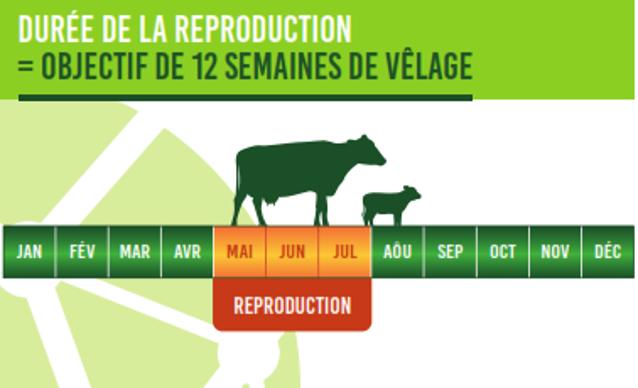 La période de reproduction dure 3 mois pour atteindre l'objectif de 12 semaines de vêlages.