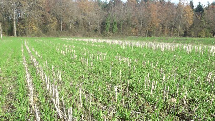 Blé en semis direct dans des chaumes de chanvre