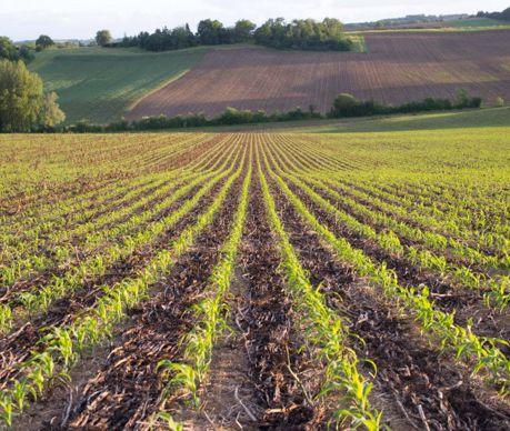 Une fois le maïs semé, le couvert meurt. Cette couverture protège l'interrang et diminue la présence d'adventices.