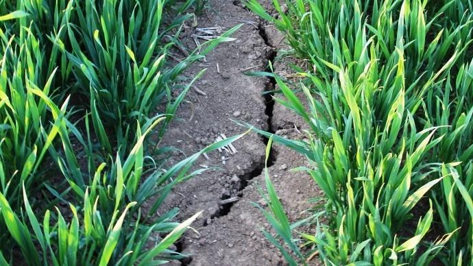 Les fissurent sont nombeuses dans cette parcelle de blé.
