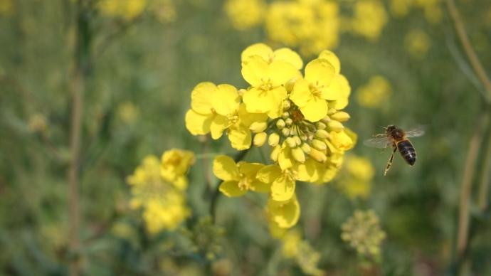 Abeille et fleur de colza