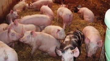 Les exportations de porc chutent à cause de l'embargo russe