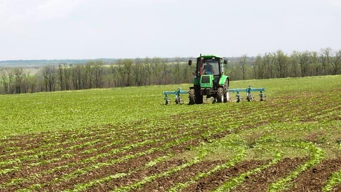 Le tournesol est une alternative au maïs, très onéreux à produire en Ukraine.