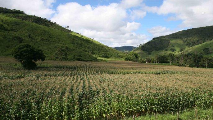 Champ de maïs avec en arrière-plan la forêt vierge.