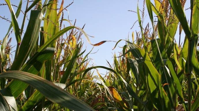Conditions climatiques favorables pour la récolte de maïs en Europe et mer Noire