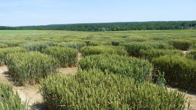 Sélection variétale en blé tendre.