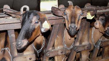 Pendant que la vache pleure, lachèvre retrouve le sourire