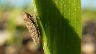 Zapouchennyj le microorganisme végétal sur les ongles