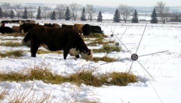 Les éleveurs canadiens misent sur le pâturage en andain pour faire des économies