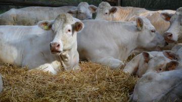 Le Gaec Augros valorise ses charolaises à 4,5¤/kg avec son nutritionniste