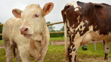 En 2017, le surplus de vaches de réforme pèsera sur l'élevage allaitant