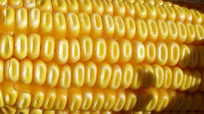 Le Mon 810, seule culture OGM autorisée en Europe, est cultivée dans seulement trois pays: l'Espagne, le Portugal et la République Tchèque.