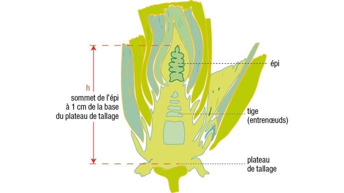 Figure 1: Coupe longitudinale d'une tige de blé tendre