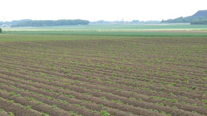 D sherbage des pommes de terre - Traitement pomme de terre ...