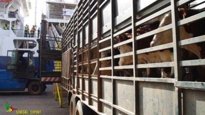 Sur le port de Dakar, les 1181 bovins français sont déchargés du bateau après une semaine de voyage depuis le port de Sète.