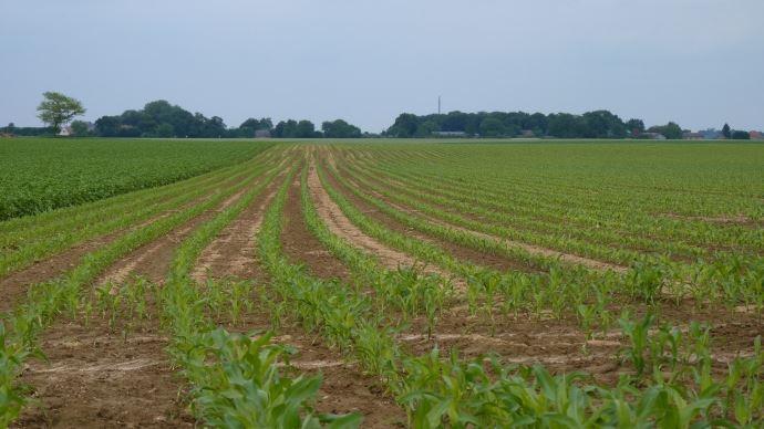 Parcelle de maïs