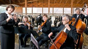 De la musique pour des vaches zen et productives