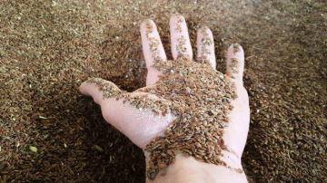 Le lin améliore la production, la reproduction et la marge des vaches laitières
