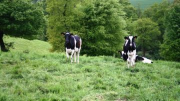 Bientôt des arbres dans la ration des vaches laitières?