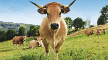 La rustique Aubrac entête d'affiche du salon de l'agriculture