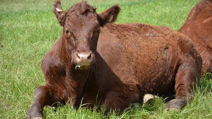 Une mise à l'herbe brutale sans transition peut favoriser l'entérotoxémie en modifiant la flore intestinale