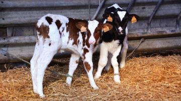 Des milliers d'élevages bloqués pour des déclarations de naissance falsifiées