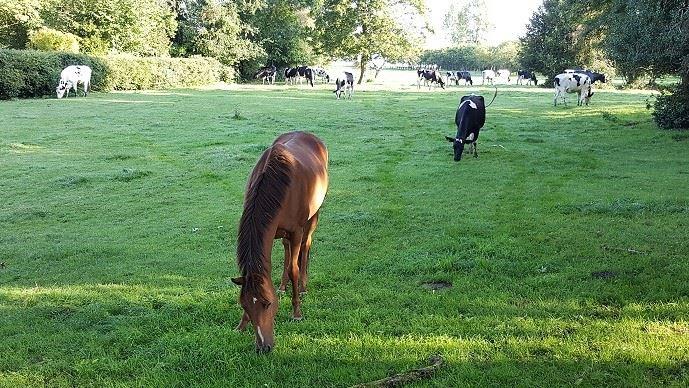 La cohabitation des chevaux et bovins au pâturage apportent plusieurs bénéfices: moins de refus et risque parasitaire réduit.
