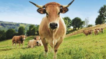 Egérie du Salon de l'agriculture, la vache Haute est arrivée à Paris