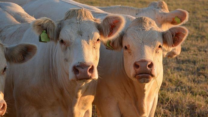 Réduction des antibiotiques dans les élevages de veaux de boucherie