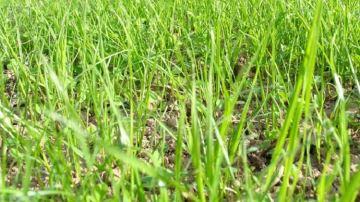 Le semencier Schweizer propose un enrobage des semences poursécuriser la levée