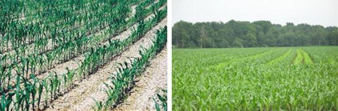 Plantes de maïs chétives