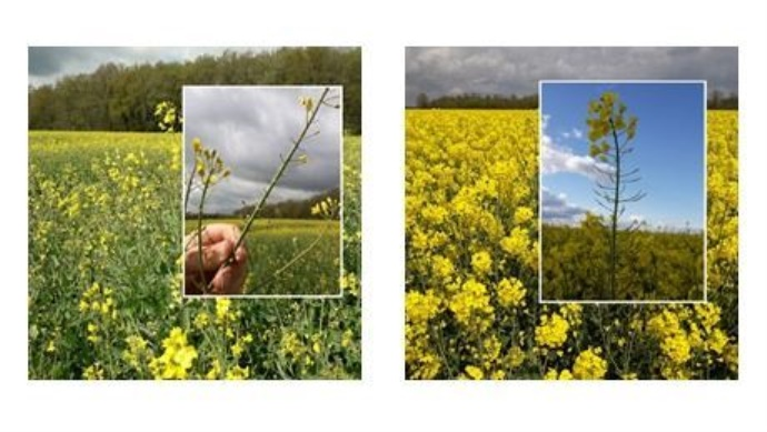 Un avortement massif des boutons floraux et de jeunes siliques est recensé par les équipes Terres Inovia. (©Terres Inovia)